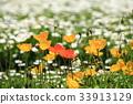 poppy, iceland, bloom 33913129