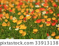 poppy, iceland, bloom 33913138