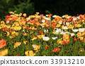 poppy, iceland, bloom 33913210