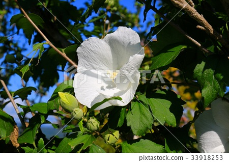 White mukoge's flower 33918253
