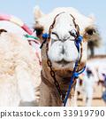 Racing camel 33919790
