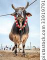 Bull fighting in Fujairah 33919791