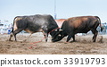 Bull fighting in Fujairah 33919793