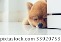pomeranian puppy dog cute pet sleeping 33920753
