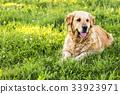 獵犬 金色 狗 33923971