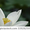 꽃, 실잠자리, 연꽃 33926250