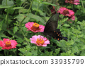 chinese, peacock, swallowtail 33935799