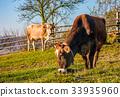 cow,pasture,cows 33935960