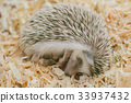 Hedgehog lazy cute exotic sleeping on wooden 33937432