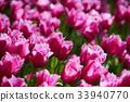 Blooming tulips flowerbed in Keukenhof flower 33940770