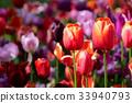 Blooming tulips flowerbed in Keukenhof flower 33940793