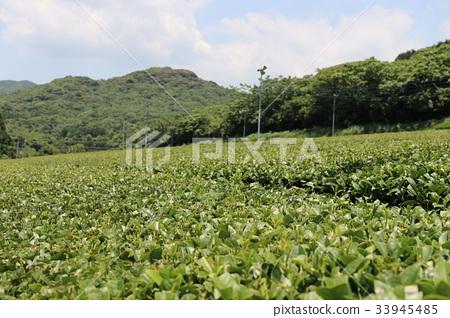 Tea fields in Kagoshima 33945485