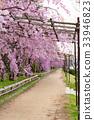 鴨川 河 櫻花 33946823