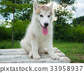 Siberian husky puppy in the park 33958937
