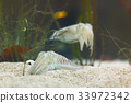 The Common Cuttlefish in clean water 33972342