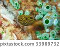 河豚 河豚魚 魚 33989732