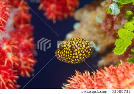 河豚 河豚魚 魚 33989735