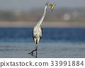 fish, heron, beak 33991884
