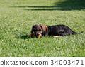 cute female of brown dachshund 34003471