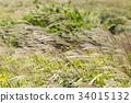 日本蒲葦 斑葉芒 芒草 34015132