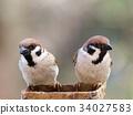 麻雀 野生鳥類 野鳥 34027583