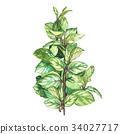 leaf, oregano, watercolor 34027717