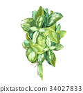 Botanical drawing of a basil leaver. Watercolor 34027833