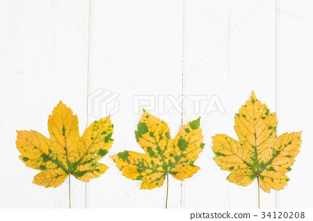 Abstract layout for the background of maple leaves 34120208