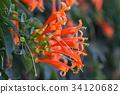 Pyrostegia venusta or orange trumpet flowers 34120682
