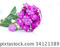 ianthus barbatus pink flowers isolated on white 34121389