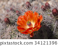 Beautiful blooming wild desert cactus flowers. 34121396