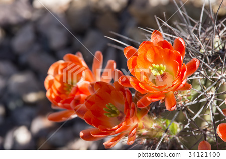 Beautiful blooming wild desert cactus flowers. 34121400
