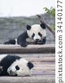 熊貓 嬰兒 寶寶 34140177
