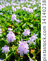 water hyacinth, common water hyacinth, bloom 34140238