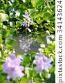 water hyacinth, common water hyacinth, bloom 34143624