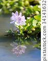 water hyacinth, common water hyacinth, bloom 34143632