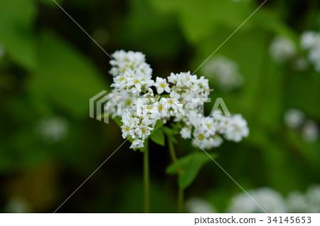 Buckwheat flower-buckwheat field 34145653