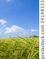 쌀 소득의 가을 34148333