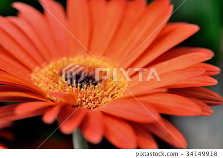 植物 花 花卉 非洲菊 太陽花 花蕊 橘色非洲菊 橘非洲菊 橘色 盛開 特寫 花瓣 鮮艷 熱情 綻放 34149918
