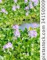 Water hyacinth 34150009