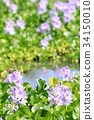 water hyacinth, common water hyacinth, bloom 34150010