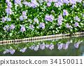 water hyacinth, common water hyacinth, bloom 34150011