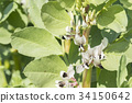 Broad bean blooming 34150642