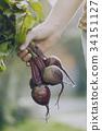 甜菜 丰收 收获 34151127