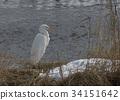 นกยางโทนใหญ่ 34151642