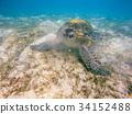big Adult green sea turtle (Chelonia mydas) 34152488