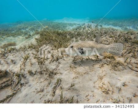 Stellate puffer fish (Arothron stellatus) 34152495