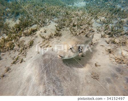 Stellate puffer fish (Arothron stellatus) 34152497