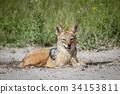 豺 野生生物 动物 34153811