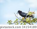 Cape crow sitting on a branch in Etosha. 34154189